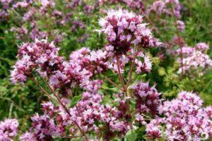 цветы для травяного чая