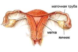 строение репродуктивных органов женщины