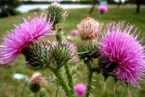 лекарственное растение цветет
