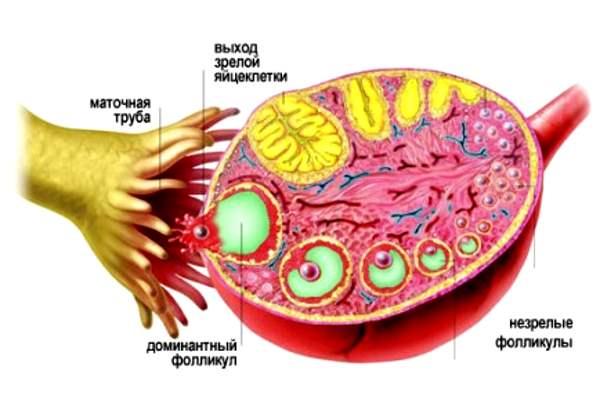 Размер яичников у женщин: норма, расшифровка УЗИ матки и нормальные значения яичников