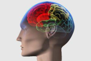 структура мозга в голове