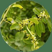 растений семейства Олаксовых